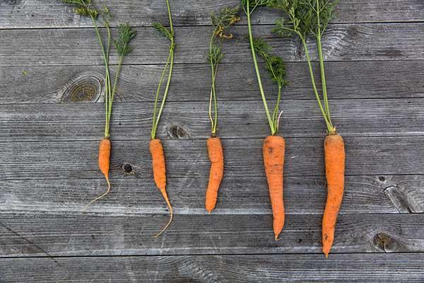 ไม่เลือกแครอทที่ใหญ่ หรือเล็ก หรือผลที่บิดเบี้ยวเสียทรงมีผิวขรุขระ